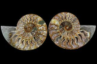 Cleoniceras - Fossils For Sale - #79710