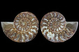 Cleoniceras - Fossils For Sale - #78381