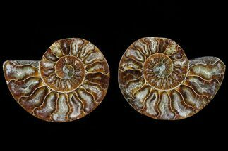Cleoniceras - Fossils For Sale - #78387