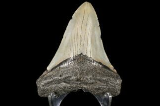 "4.05"" Fossil Megalodon Tooth - North Carolina For Sale, #79901"
