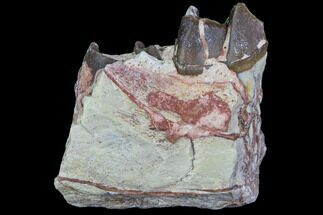 Hyracodon nebraskensis - Fossils For Sale - #80166