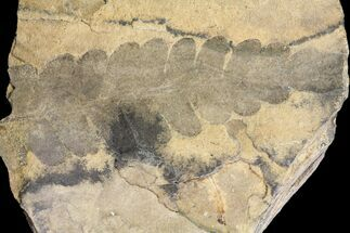 Neuropteris sp - Fossils For Sale - #80424