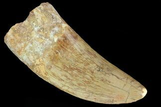 "Buy Large, 3.53"" Carcharodontosaurus Tooth - Real Dinosaur Tooth - #80611"