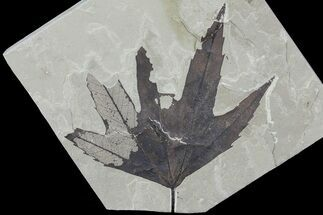 "Buy 4.8"" Fossil Sycamore (Platanus) Leaf - Green River Formation - #80884"
