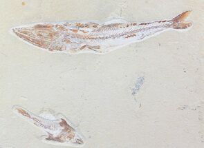 "11"" Enchodus With Coccodus Fossil Fish - Lebanon (Special Price) For Sale, #70487"
