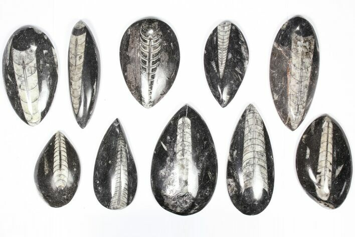 "Wholesale Lot: Polished Orthoceras Fossils (2-4"") - 100 Pieces"
