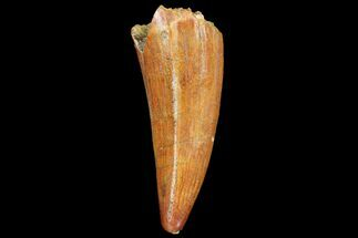 "1.95"" Fossil Crocodile (Elosuchus) Tooth - Morocco For Sale, #81035"