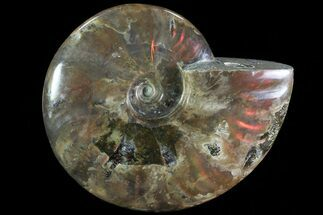 "4.7"" Iridescent Red Flash Ammonite - Madagascar For Sale, #81380"