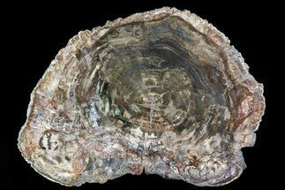 "17.8"" Detailed Petrified Wood (Araucaria) Round - Madagascar  For Sale, #81443"
