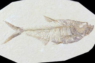 "4.7"" Diplomystus Fossil Fish - Wyoming For Sale, #81446"