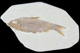 "Buy 2.9"" Knightia Fossil Fish - Wyoming - #81463"