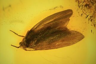 Fossil Butterfly (Lepidoptera) In Baltic Amber For Sale, #81713