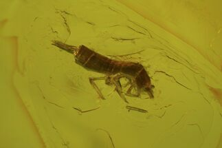 Buy Detailed Fossil Springtail (Collembola) In Baltic Amber - #81778