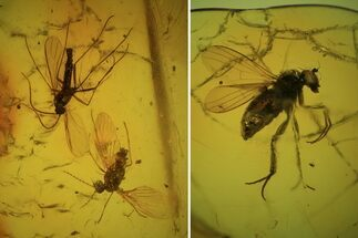 Buy Detailed Fossil Flies (Diptera) In Baltic Amber  - #81805