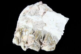 "1.4"" Oreodont Jaw Section With Teeth - South Dakota For Sale, #81953"