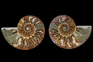 Cleoniceras - Fossils For Sale - #82275
