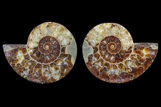 Cleoniceras - Fossils For Sale - #82314