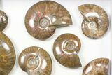 "Wholesale: 2-3"" Iridescent, Red Flash Ammonites - 12 Pieces - #82472-1"