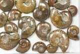 "Wholesale: 1kg Iridescent, Red Flash Ammonites (1-3"") - 37 Pieces - #82475-1"