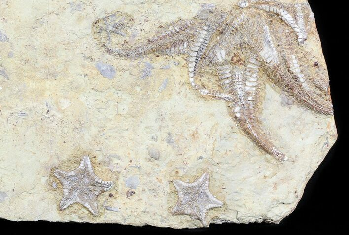 Plate Of Rare Cretaceous Starfish (3 Types) - Morocco