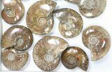 "Wholesale: 1kg Iridescent, Red Flash Ammonites (2-3"") - 15 Pieces - #82479-2"