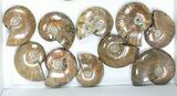 "Wholesale: 1kg Iridescent, Red Flash Ammonites (2-2.5"") - 21 Pieces - #82490-2"
