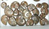 "Wholesale: 1kg Iridescent, Red Flash Ammonites (1-2.5"") - 36 Pieces - #82493-1"