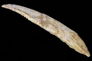 "Buy 6.9"" Hybodus Shark Dorsal Spine - Cretaceous - #73123"