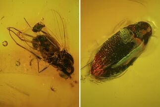 Buy Detailed Fossil Fly, Springtail And Beetle In Baltic Amber - #84649