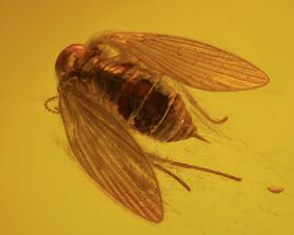 Fly (Order Diptera, Scientific Name Psychodidae) - Fossils For Sale - #84639
