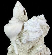 "Buy 3.6"" Tall Miocene Fossil (Gastropod) Cluster - France - #70879"