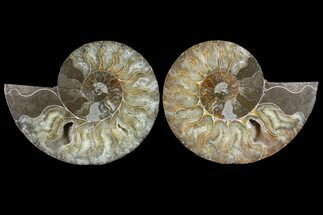 "Buy 4.8"" Cut & Polished Ammonite Pair - Agatized - #85222"