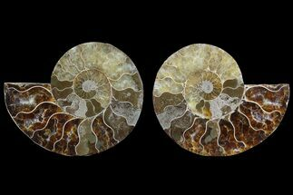 Cleoniceras - Fossils For Sale - #85224