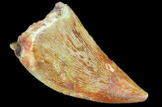 "Bargain, 1.25"" Juvenile Carcharodontosaurus Tooth For Sale, #84368"