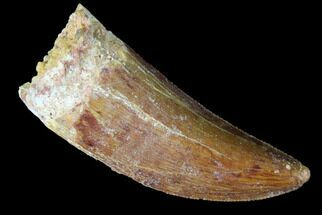 "Serrated, 1.41"" Juvenile Carcharodontosaurus Tooth For Sale, #84437"