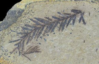 Metasequoia (Dawn Redwood) - Fossils For Sale - #85734