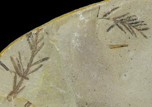 Metasequoia (Dawn Redwood) Fossils - Montana  For Sale, #85784
