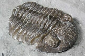 "Buy 2"" Long Eldredgeops Trilobite - Paulding, Ohio - #85555"