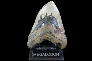 "6.07"" Fossil Megalodon Tooth - Massive Tooth For Sale, #86501"