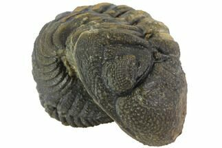 Buy Bumpy Enrolled Barrandeops (Phacops) Trilobite - #86413