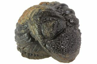 Bumpy Enrolled Barrandeops (Phacops) Trilobite For Sale, #86417