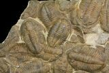 "35"" Plate Of Large Asaphid Trilobites - Spectacular Display - #86537-3"