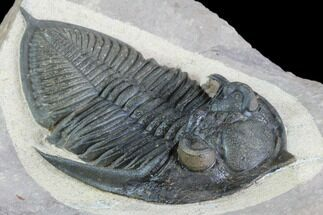 "Buy 2.8"" Zlichovaspis Trilobite With Healed Injury - Great Eyes - #86755"