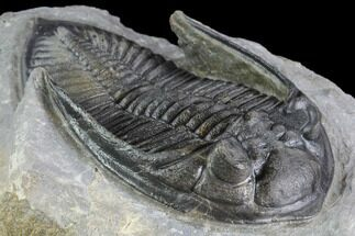 "3.6"" Zlichovaspis Trilobite - Beautiful Specimen For Sale, #86756"