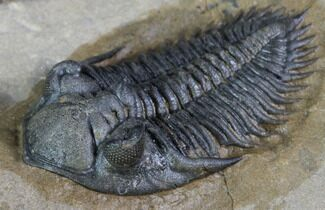 "Cute, .9"" Metacanthina Trilobite - Lghaft, Morocco For Sale, #86888"