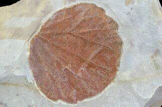 "Buy 1.8"" Detailed Fossil Leaf (Zizyphoides) - Montana - #86701"