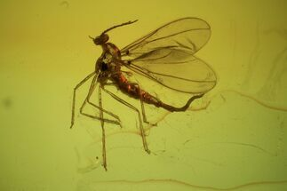 Detailed Fossil Fly (Diptera) In Baltic Amber  For Sale, #87053