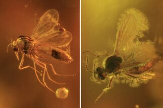 Two Detailed Fossil Flies (Diptera) In Baltic Amber  For Sale, #87065