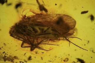 Detailed Fossil Caddisfly (Trichopterae) In Baltic Amber For Sale, #87239