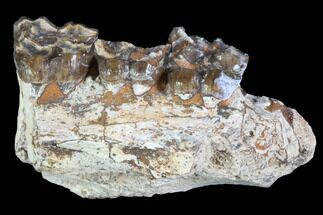 "1.5"" Oreodont Jaw Section With Teeth - South Dakota For Sale, #82178"